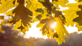 Shape of yellow oak tree leaves in warm sun light. Backlit flares through the foliage.  Stock Photo