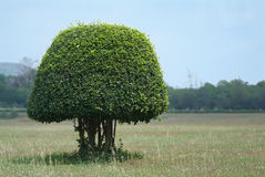 Shaped bush in the field stock photography