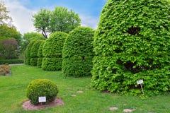 Shaped hornbeam trees Royalty Free Stock Photo