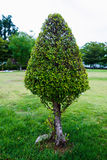 Shaped tree Royalty Free Stock Image