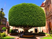 Shaped Tree in Queretaro. Santiago de Querétaro, Querétaro, Mexico - June 11, 2017: Shaped tree in Queretaro, Mexico royalty free stock photo