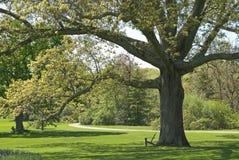 Shapely Oak Royalty Free Stock Image