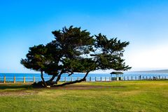 Shapely Olive Tree by the Shore. This olive tree is in the park at La Jolla Cove near San Diego royalty free stock photos