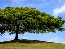 Tree up on a hill. A shapely tree provides shade up on a hill Royalty Free Stock Images