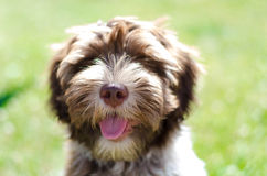 Schapendoes puppy Royalty Free Stock Photos