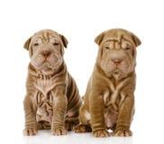 2 shar щенят pei смотря камеру Стоковая Фотография