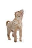 shar hundpeivalp royaltyfri fotografi