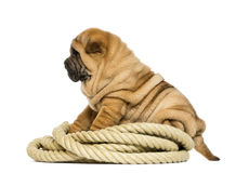 Shar pei小狗(11个星期年纪)坐绳索 图库摄影