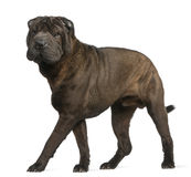 Shar Pei, 11 months old, standing Stock Photo