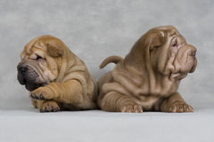 Shar-pei Royalty Free Stock Photo