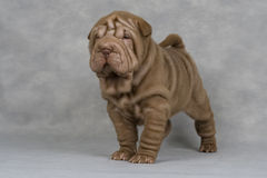 Shar-pei Stock Images