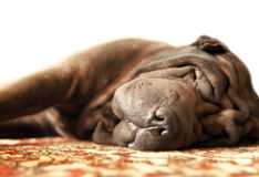 Shar-pei Royalty Free Stock Image