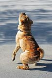 Shar pei. Young shar pei standing on back feet in the park stock photography