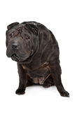 Shar-Pei Stock Photography