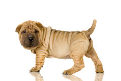 Shar pei Stock Photography