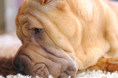 Shar-pei Royalty Free Stock Photography