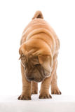 Shar Pei. Standing in front of a white background Royalty Free Stock Photos