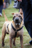 Shar Pei. Chinese Shar Pei dog wearing a black harness Royalty Free Stock Photos