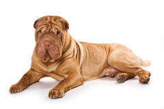 Shar pei Stock Photos