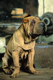 Shar-pei Royalty Free Stock Photos