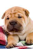 Shar Pei baby dog Royalty Free Stock Images