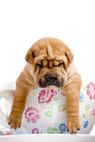 Shar Pei baby dog in a large cup Stock Photos