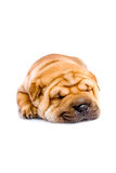 Shar Pei baby dog sleeping Royalty Free Stock Photography