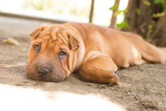 Shar Pei. Beautiful Shar Pei resting in the shade of a tree Stock Photos
