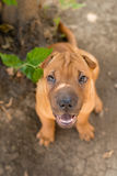 Shar Pei. Beautiful Shar Pei resting in the shade of a tree Royalty Free Stock Photo