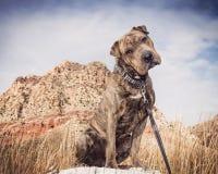 Shar Pei blandad avelhund som poserar i öknen arkivbild