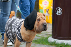 Shar Pei Royalty Free Stock Photography