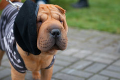 Shar Pei Royalty Free Stock Photos