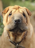 Shar-Pei chinois Images stock