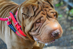 Shar Pei Royalty Free Stock Image