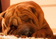 Shar-pei Stock Photos