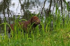 Shar-pei de Brown Fotografía de archivo