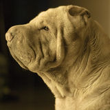 Shar Pei Dog. Portrait of Shar Pei Dog. Profile view Stock Image