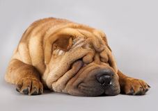 Shar-pei dog Stock Images