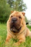 Shar pei dog Royalty Free Stock Images