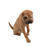 Shar pei dog Royalty Free Stock Photo