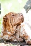Shar pei dog Royalty Free Stock Photos
