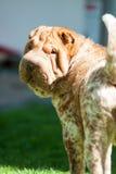 Shar pei dog Stock Images