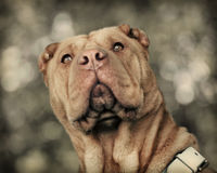 Shar Pei dog Stock Photo
