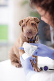 Shar Pei dog getting bandage after injury on his leg by a veter Stock Photos