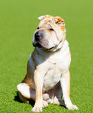 Shar pei dog on a green lawn stock photography