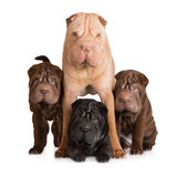 Shar pei dog with her puppies Royalty Free Stock Photography
