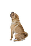 Shar Pei dog isolated on white Stock Photography