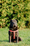 Shar-pei dog portrait Royalty Free Stock Image