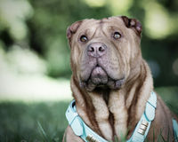 Shar Pei dog. Portrait of pedigree Shar Pei dog with collar, green nature background Stock Images