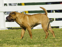 Shar Pei dog Stock Images